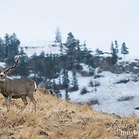 trophy mule deer buck on hillside snowy mountain background