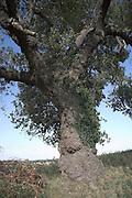 One of Britain's rarest native trees. Male Black Poplar tree - populus nigra, Suffolk, England