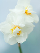 Narcissus 'Bridal Crown' - double daffodil