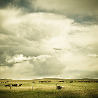horses graze in pasture, cowboy watches over horses, horses grazing
