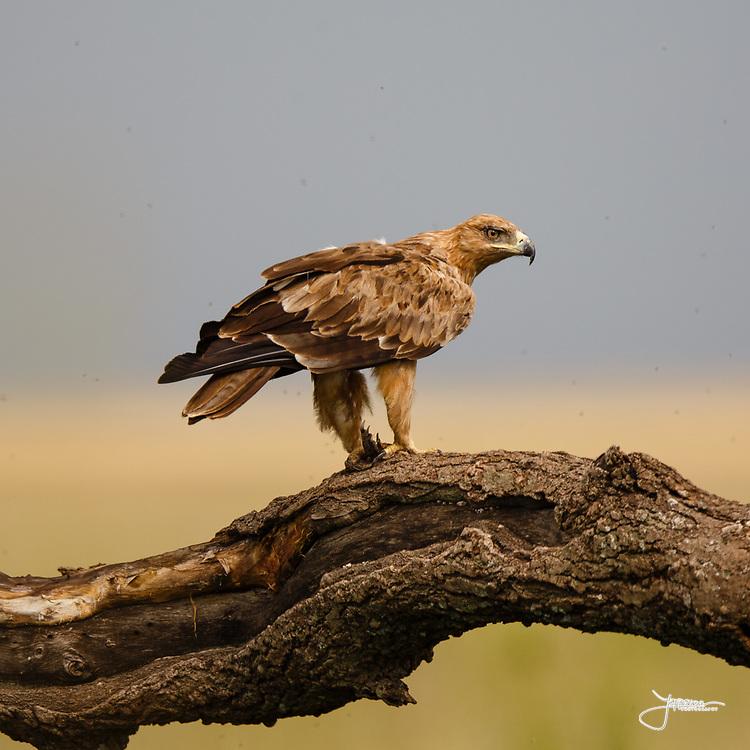 Tawny Eagle, Savannörn, Aquila rapax, eating pray in tree, could be pray of Guineafowl, Serengeti, Tanzania, Africa