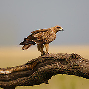 Tawny Eagle, Savannörn, Aquila rapax, eating pray in tree, could be pray of Guineafowl, Serengeti, Tanzania, Africa