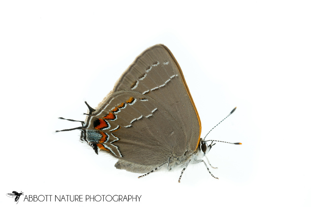 Northern Oak Hairstreak (Satyrium favonius ontario)<br /> TEXAS: Travis Co.<br /> Southeast Metro Park; Austin<br /> 12-May-2016<br /> J.C. Abbott #2813