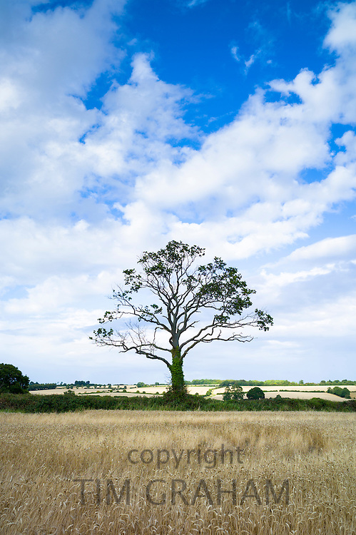 Sculptural lone tree in a country landscape in the Cotswolds, England, UK