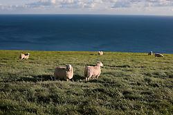 Sheep on the Jurassic Coast near Durdle Door, Dorset, England, UK.
