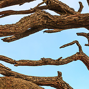 The abstract and twisted lines of cypress branches in Point Lobos State Reseverve near Monterey, California.