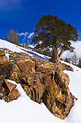 Rock and tree in winter, Ansel Adams Wilderness, Sierra Nevada Mountains, California USA