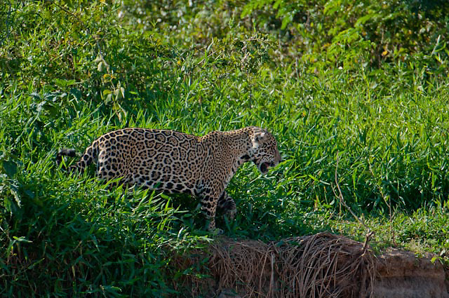 Jaguar walks along the Cuiba river in Pantanal Brazil