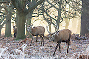 UNITED KINGDOM, London: 18 January 2017 Red deer make their way through a frosty Richmond Park during sunrise this morning. Temperatures dropped to -4C in certain parts of the capital last night causing wide spread frost. Rick Findler / Story Picture Agency