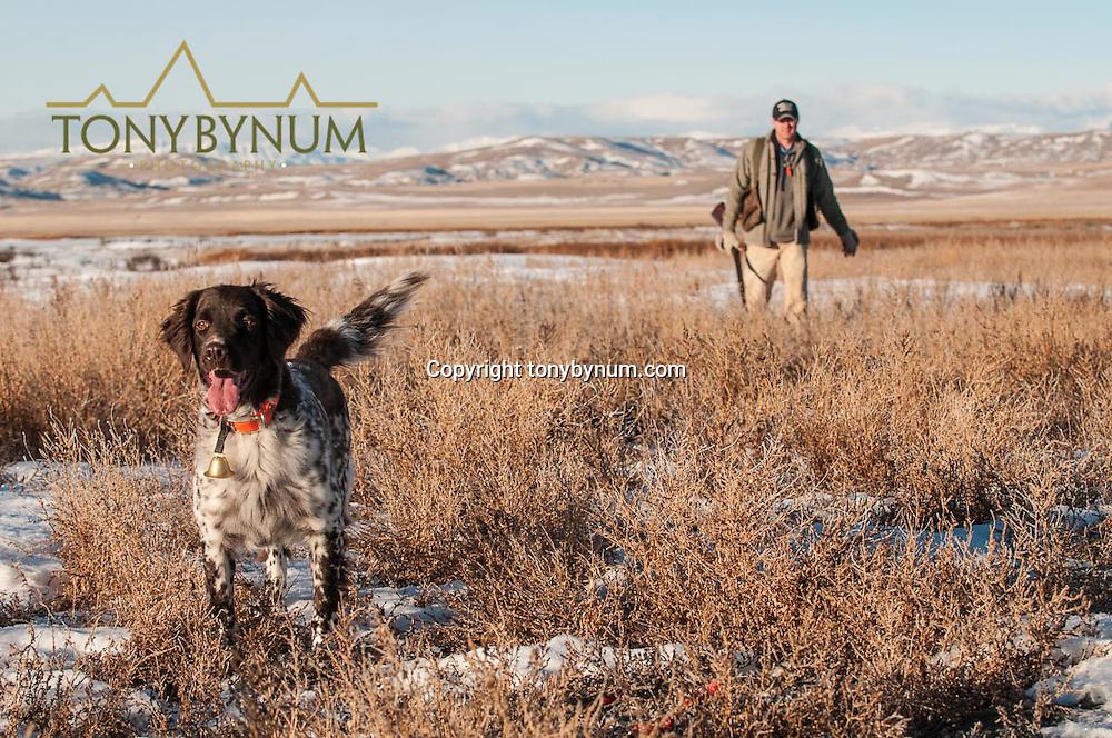 upland game bird hunting, freezeout lake montana