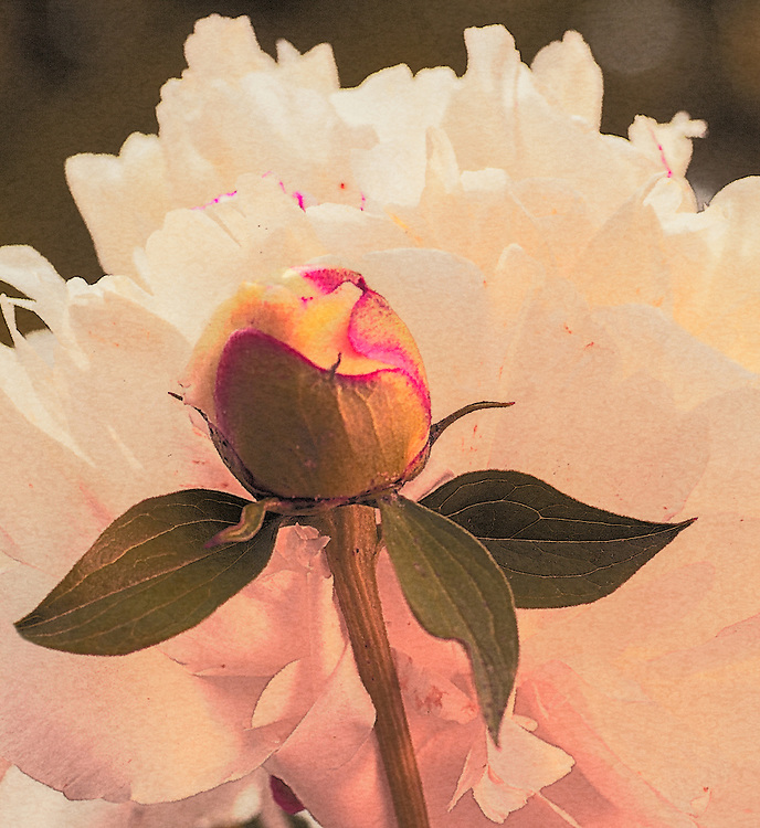 FLOWERS-SCHELLRIDGE BED-CALLIE LILLIES