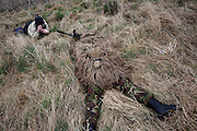 Lying in undergrowth with a photographer shooting pictures, a camouflaged British infantry soldier is seen looking down the telescopic sight of the new British-made Long Range L115A3 sniper rifle on Salisbury Plain, Warminster, England. Sniping means concealment, observation and assassination, a strategy the British are using more against the Taliban in Afghanistan. Swiss Lapua .338 inch rounds (8.59mm) travel at sub-sonic speeds of 936 metres/sec, finding its target accurately up to 1,100 metres. The rifle weighs 6.8kg with telescopic image-intensified scopes to 25x life size vision, made by Schmidt & Bender. Front-mounted 'suppressor' minimises the signature normally compromising snipers' position. At £23,000 each, a £4 million contract has been awarded to Accuracy International, to provide the Army, Royal Marines and RAF.