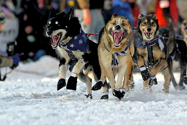 04 March 2006: Anchorage, Alaska - The lead dogs of Judy Curriers' dog team launch off of the start line during the Ceremonial Start in downtown Anchorage of the 2006 Iditarod Sled Dog Race