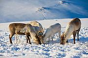 Reindeers in natural environment in Tromso region, Northern Norway.