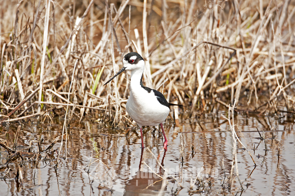 A Black Necked Stilt studies the shallow water of a mudflats pond deciding where to start feeding.