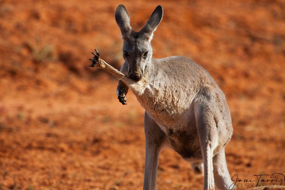 A red kangaroo (Macropus rufus) licks its arm,  Sturt Stony Desert,  Australia