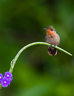 A female Tufted Coquette (Lophornis ornatus) perched. Trinidad