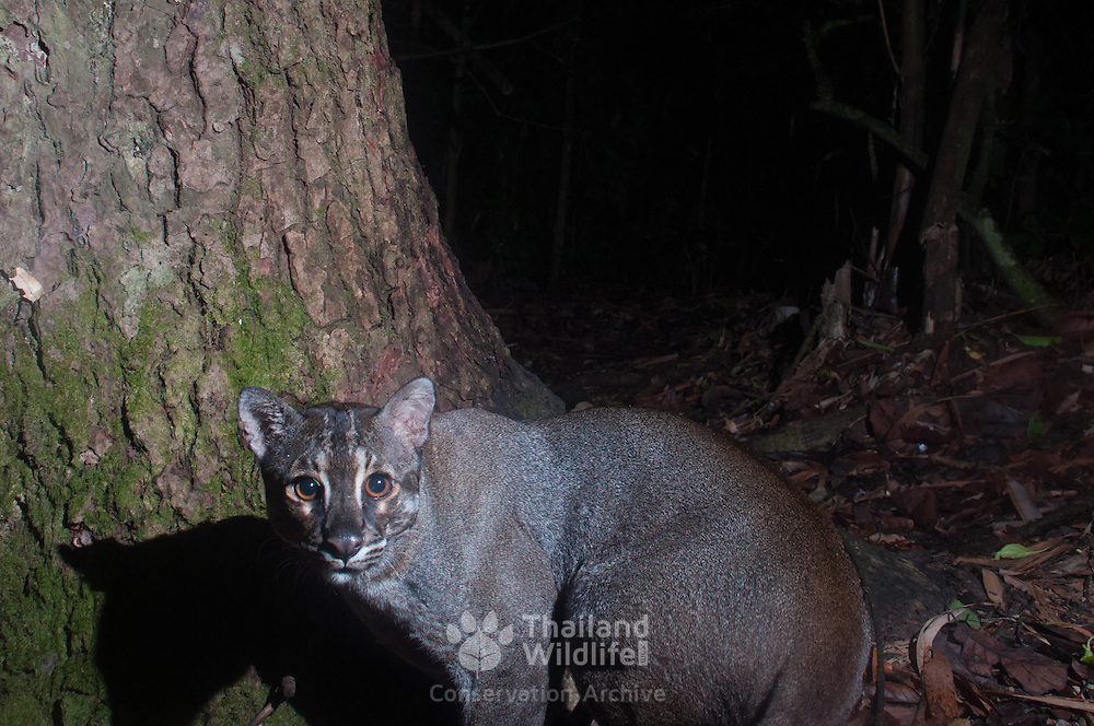 The Asian golden cat (Pardofelis temminckii, syn. Catopuma temminckii), also called the Asiatic golden cat and Temminck's cat, is a medium-sized wild cat of Southeastern Asia.