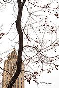 Goldenraintree, Koelreuteria paniculata
