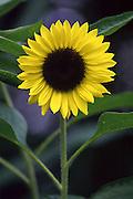 Japanese sunflower.