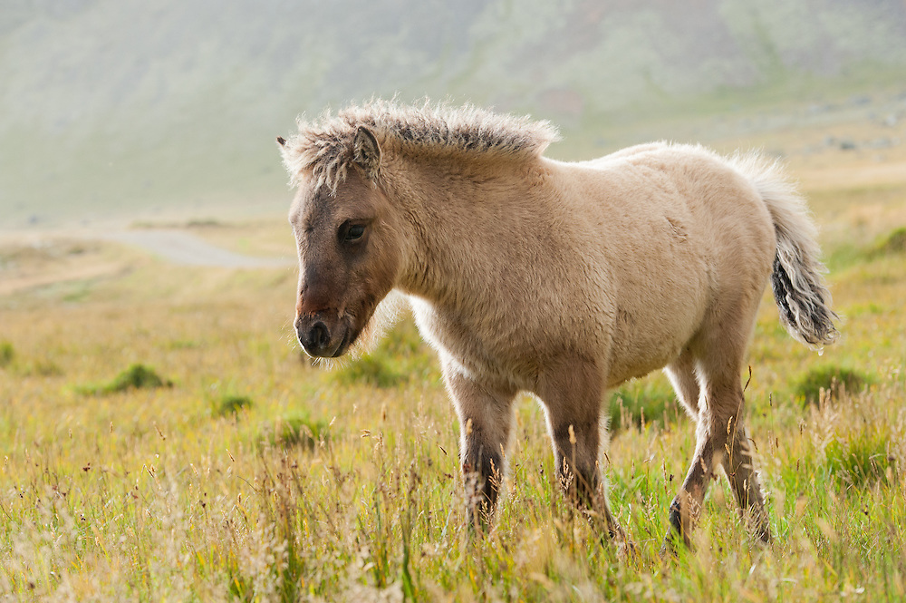Icelandic horses near Stokkness, Iceland