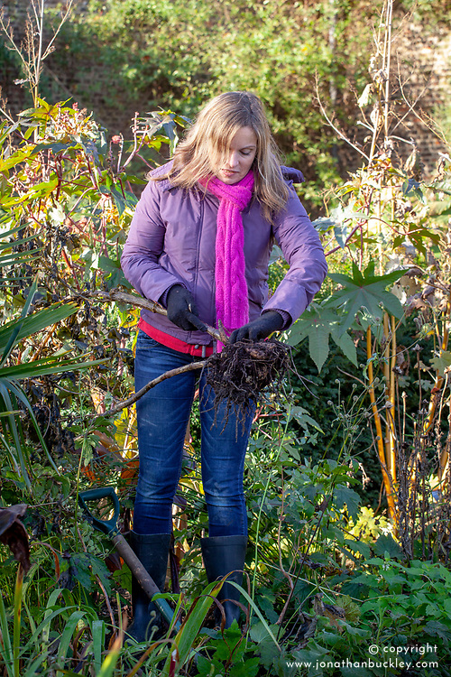 Lifting dahlia tubers after the first frost ready for storing inside over winter.