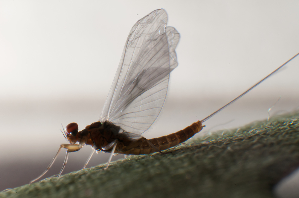 A mayfly spinner dries its wings on the edge of a fly box.