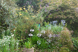 A corner at Glebe Cottage in August. Agapanthus 'Blue Gown', Eryngium bourgatii 'Blue Form', Phlomis lanata, Anaphalis yedoensis, Erigeron karvinskianus, Fennel - Foeniculum vulgare and Verbena bonariensis