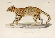Geoffroy's cat (Leopardus geoffroyi [here as Felis Felis Geoffroyi]) is a wild cat native to the southern and central regions of South America. It is about the size of a domestic cat. hand coloured sketched From the book 'Voyage dans l'Amérique Méridionale' [Journey to South America: (Brazil, the eastern republic of Uruguay, the Argentine Republic, Patagonia, the republic of Chile, the republic of Bolivia, the republic of Peru), executed during the years 1826 - 1833] 4th volume By: Orbigny, Alcide Dessalines d', d'Orbigny, 1802-1857; Montagne, Jean François Camille, 1784-1866; Martius, Karl Friedrich Philipp von, 1794-1868 Published Paris :Chez Pitois-Levrault et c.e ... ;1835-1847