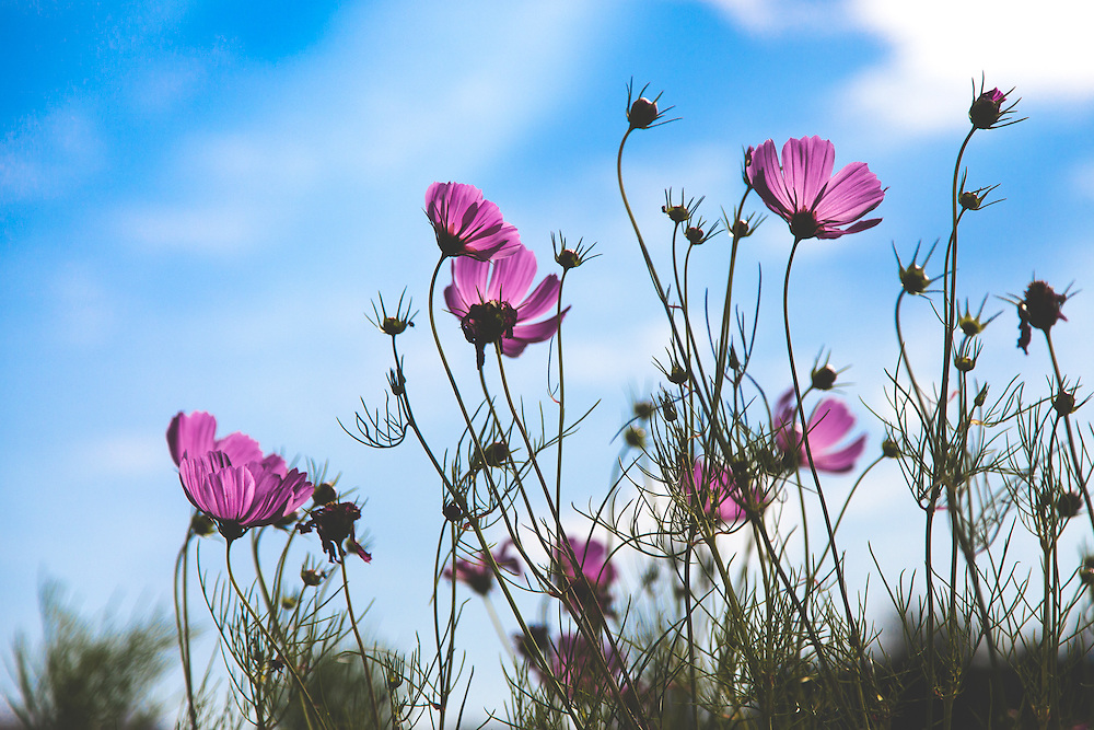 Cosmos reaching for the last of the hot summer sun
