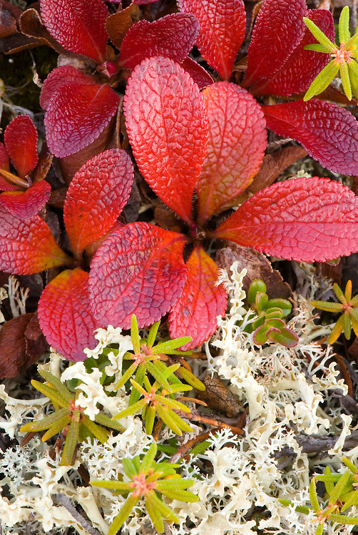 Deatail of tundra plants in autumn color, Yukon Canda
