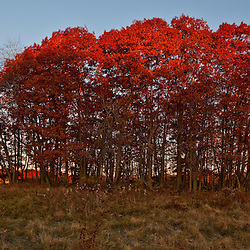 The moon sets over a hay field on the Benjamin Farm in Scarborough, Maine. Oak trees in fall.
