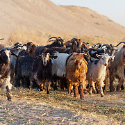Goats at the foot of the tel of Ziyaret Tepe, Diyarbakir province, Turkey.
