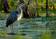 A Great Blue Heron is just one of the many wading birds that nest every year at the Nature Conservancy's Cypress Island Preserve, which includes Lake Martin.