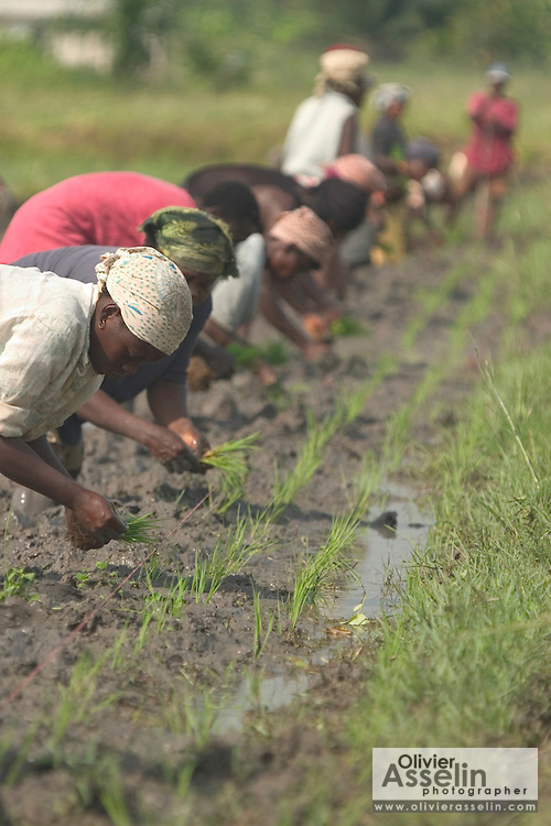 Workers planting rice in a field at Asutsuare, Ghana.