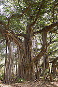 Ancient 300-year-old Banyan Trees in Ranthambhore National Park, Rajasthan, Northern India