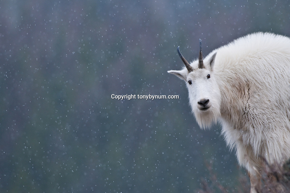 lone mountain goat looking at camera,  snowing cold winter scene dark backdrop