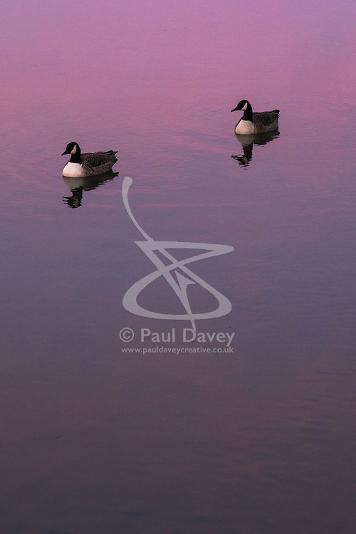 Richmond, London, February 17th 2016. Two Canada geese ( Branta canadensis) as dawn breaks over the River Thames. <br /> ///FOR LICENCING CONTACT: paul@pauldaveycreative.co.uk TEL:+44 (0) 7966 016 296 or +44 (0) 20 8969 6875. ©2015 Paul R Davey. All rights reserved.