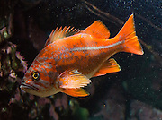 The Canary Rockfish (Sebastes pinniger) is found along the Pacific coast, from south of Shelikof Strait in the eastern Gulf of Alaska to Punta Colnett in northern Baja California. Photographed in the Vancouver Aquarium, 845 Avison Way, Vancouver, British Columbia, V6G 3E2 CANADA.
