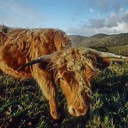 Scottish highland cattle. I come from an agricultural county in the UK, Devon, that even has its own particular breed of cows, South Devons, with a reddish brown colour that almost matches the colour of the soil, not dissimilar to the colour of this distinctive Scottish breed, but that is where the similarity ends because they have been bred for climates at opposite ends of the UK weather spectrum. Whereas Devon enjoys the balmiest weather in the country, the Scottish Highlands and Western Isles, where highland cattle were developed, have the shortest summers and most extreme weather conditions in the UK. Highland cattle are known as a hardy breed due to the rugged nature of their native Scottish Highlands, with high rainfall and very strong winds. Breeding stock has been exported to the rest of the world, especially Australia and North America, since the early 20th Century. They have been successfully established in many temperate, and even in countries where winters are substantially colder than Scotland's such as in central Europe and Canada. Their long hair gives protection during the cold winters, and their ability to find and graze on plants in steep mountain areas, or on plants, which many other cattle avoid helps them to survive. They have become established as one of the most distinctive trademarks of the wildest parts of Scotland, and one of Scotland's most successful exports.