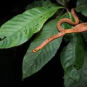 Hampton's Slug Snake (Pareas hamptoni) in Nan, Thailand