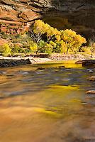 Cottonwood trees along the Virgin River, Zion National Park Utah USA
