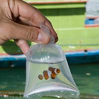 Poisson clown emball&eacute; pour &ecirc;tre export&eacute;<br /> <br /> Poisson clown, Amphiprion ocellaris,  il subit une forte pression de la p&ecirc;che pour le commerce de l'aquariophilie surtout depuis le film d'animation N&eacute;mo. village de Bonebaru sur l'ile Banggai dans les Sulawesis en Indon&eacute;sie - Mission Banggai Cardinal Fish, Mai 2008, Act for Nature - Musee oceanographique de Monaco