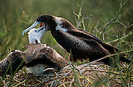 Great frigatebird feeding chick, Fregata minor, Galapagos Islands