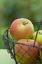 Apples in a wire basket - Malus 'Jonagold'