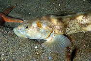 European Eelpout (Zoarces viviparus). Location: Norway