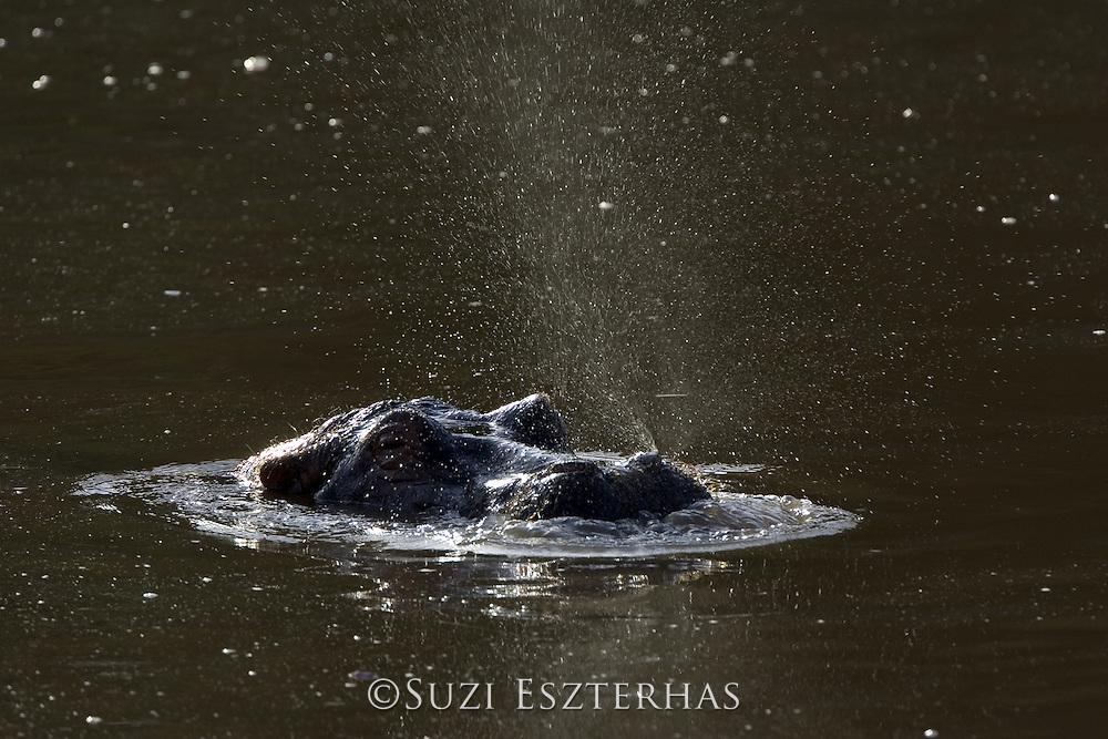 Common Hippopotamus <br /> Hippopotamus amphibius<br /> <br /> Maasai Mara Reserve, Kenya