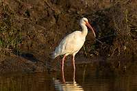 Arthur R. Marshall Loxahatchee National Wildlife Reserve, Wellington, Florida, USA. White Ibis (Eudocimus albus).    Photo: Peter Llewellyn