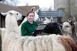 ©London News Picures. 04/01/2011. A Zoo keeper with llamas before making a record of their numbers at London Zoo as part of the zoo's annual stocktake on January 4, 2011 in London, England. ZSL London Zoo is home to over 650 different species which all need to be cataloged in their annual stocktake which is a compulsory requirement for their zoo license.Photo credit should read Fuat Akyuz/London News Pictures.
