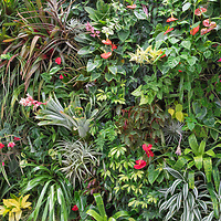Profusion of tropical foliage and flowers growing from wall at Conservatory of Flowers, Golden Gate Park, San Francisco.